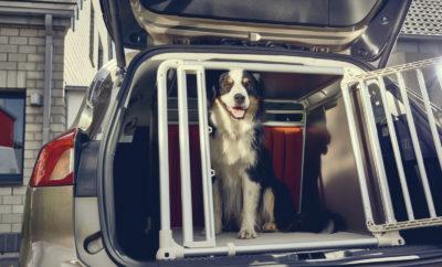 • Σύμφωνα με νέα έρευνα που διενεργήθηκε για λογαριασμό της Ford, ένας στους τρεις οδηγούς που διαθέτουν σκύλο δεν ασφαλίζει όπως θα έπρεπε το κατοικίδιο στο αυτοκίνητο, με αποτέλεσμα να εμποδίζει την ορατότητα, να πατάει τους διακόπτες, ακόμα και να πηδάει από το παράθυρο. • Η Ford σχεδίασε το νέο Focus wagon με τη συνδρομή του σκύλου του μηχανικού Rene Berns, ενός Αυστραλιανού Ποιμενικού με το όνομα Emil, ώστε να φιλοξενεί το μεγαλύτερο κλουβί που κυκλοφορεί για σκύλους. • Σε περίπτωση ατυχήματος, τα σκυλιά που δεν είναι ασφαλισμένα στην καμπίνα μπορούν να εκσφενδονιστούν μέσα στο αυτοκίνητο, αυξάνοντας τις πιθανότητες τραυματισμού, τόσο για τα ίδια όσο και για τον οδηγό, τους επιβάτες και τους άλλους χρήστες των δρόμων. Για πολλούς, ο σκύλος αποτελεί μέλος της οικογένειας. Κι όμως, ενώ οι περισσότεροι άνθρωποι δε διανοούνται τα παιδιά τους να ταξιδεύουν χωρίς ζώνη ασφαλείας, δεν κάνουν το ίδιο και για τα κατοικίδιά τους. Σύμφωνα με έρευνα που διενήργησε η Ford, το 32% των οδηγών – ιδιοκτητών σκύλων παραδέχεται ότι δεν ασφαλίζει τα κατοικίδια μέσα στο αυτοκίνητο *, κάτι που είναι υποχρεωτικό από το νόμο σε αρκετές χώρες. Αυτός άλλωστε είναι ο ασφαλέστερος και πιο ενδεδειγμένος τρόπος μετακίνησης τόσο για τους τετράποδους φίλους μας, όσο και για τον οδηγό, τους επιβάτες και τους άλλους χρήστες των δρόμων. Η μελέτη που έγινε με σημείο αναφοράς το νέο Focus wagon ήταν προσωπικό θέμα για το μηχανικό της Ford, Rene Berns, ο οποίος εμπνεύστηκε από τον τριών ετών Αυστραλιανό Ποιμενικό του, τον Emil, για να σχεδιάσει το εσωτερικό του αυτοκινήτου, έτσι ώστε να τα σκυλιά να ταξιδεύουν με μεγαλύτερη ασφάλεια. Παρακολουθήστε το σχετικό βίντεο εδώ: https://youtu.be/ZCu5xb2Qeqk Κατά τη διάρκεια των δοκιμών, ο Rene επιστράτευσε τον Emil προκειμένου να εξασφαλίζει ότι το μεγαλύτερο κλουβί για σκύλους χωράει στο χώρο αποσκευών του Focus wagon. Το αποτέλεσμα ήταν, το συγκεκριμένο μοντέλο να μπορεί να μεταφέρει άνετα ακόμη και ένα Ιρλανδικό Wolfhound, τη ράτσα με το μεγαλύτερο ύψος 